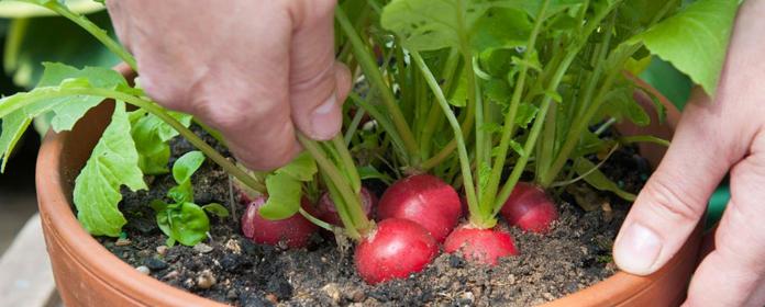 radish cultivation in your kitchen garden